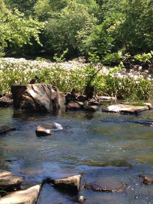 lilies-stevens-creek-1
