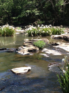 lilies-stevens-creek-2