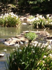 lilies-stevens-creek-5